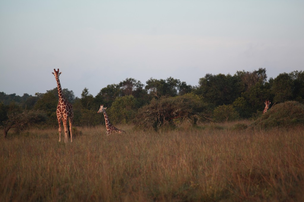 Giraffes on the side of the road
