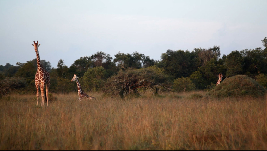 Giraffes on the side of the road - Samburu