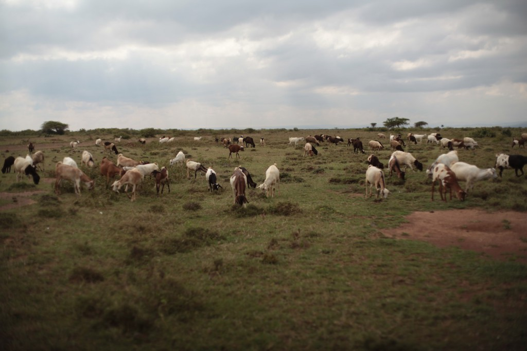 Livestock grazing the land - Samburu