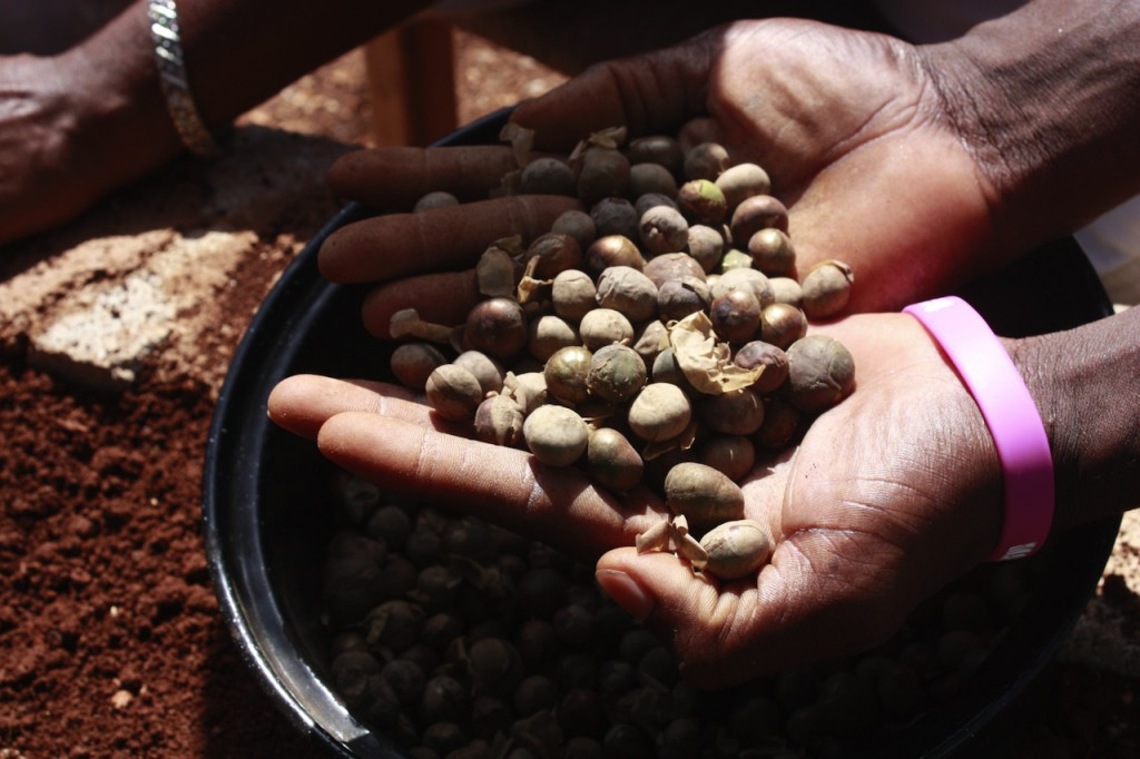 Maya Nut seeds to be planted in nursery