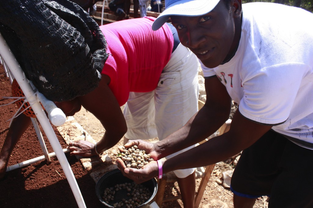 Planting Maya Nut seeds in nursery