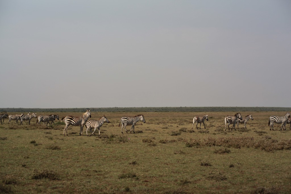 Zebras next to Sadhana Forest Kenya Land