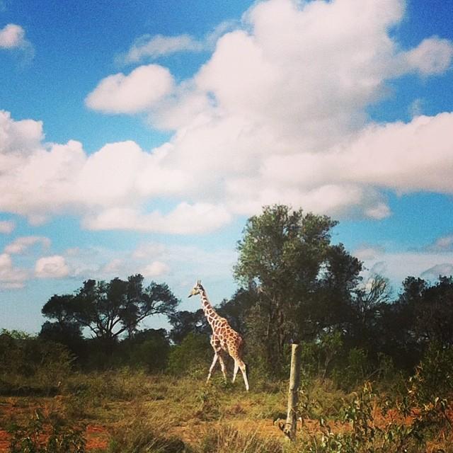 Giraffe on the way